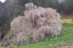 三春滝桜 国の天然記念物 日本三大桜 「一度は見てみたい場所」