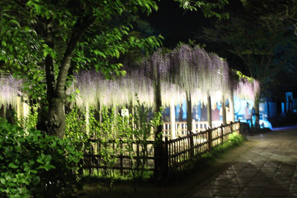 千葉県 銚子市 JR銚子駅近く 妙見様の藤