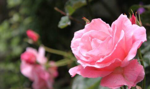 10年程前に他界した 友人の贈り物 薔薇