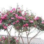 さざんか 秋の終わりから 冬にかけての 寒い時期に 花を咲かせる