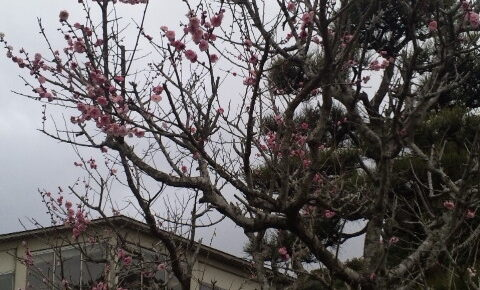 2011年 2月 銚子方面は 梅の開花