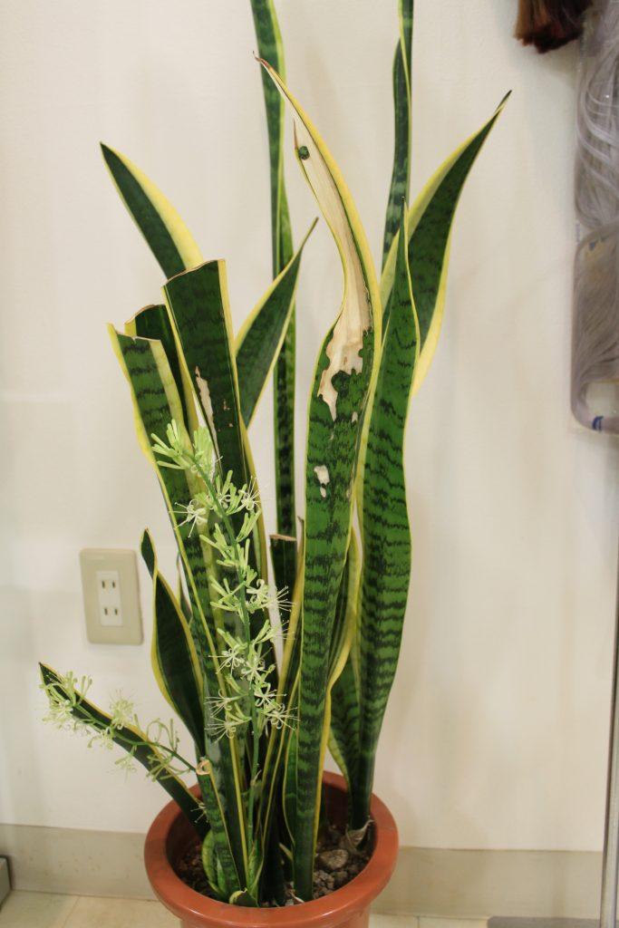 サンスベリア・ローレンティ 育て方 癒しの観葉植物