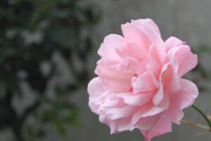 一年中 咲いてくれる薔薇 ピンク色がやさしい色に感じる