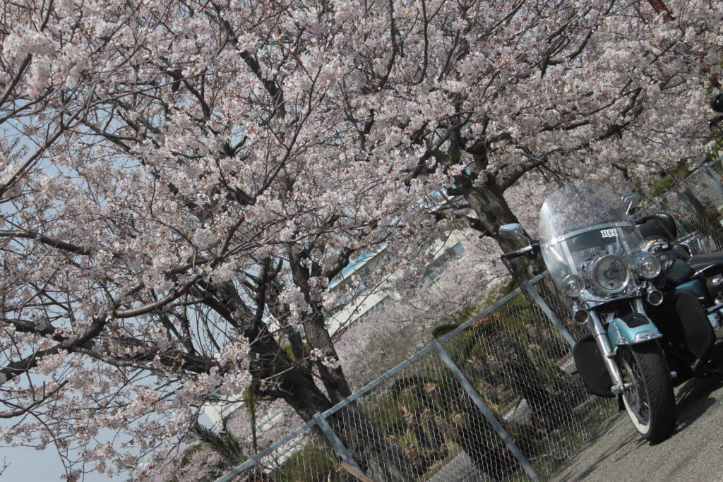 房総半島 勝浦 「桜 ツーリング 」